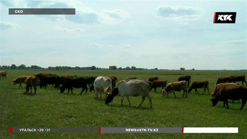 Причиной падежа скота в СКО стало ядовитое растение
