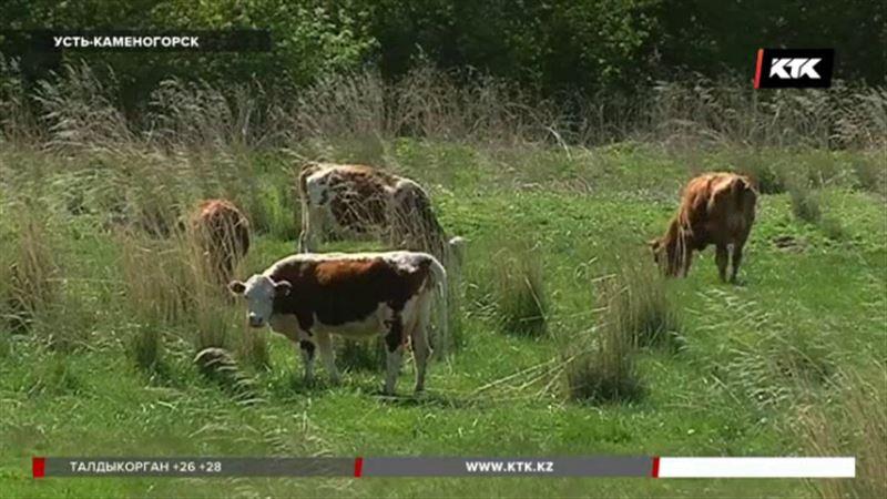 Усть-каменогорцы требуют наказания для коровы