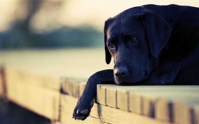 Исследователи выяснили, как реагируют собаки на плач хозяина