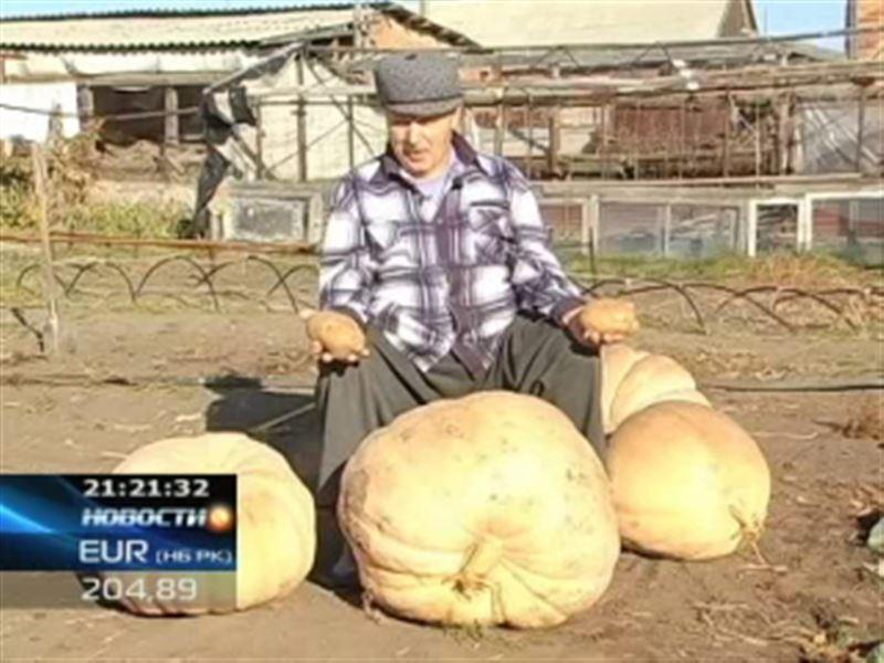 В Усть-Каменогорске садовод вырастил тыкву весом в полцентнера