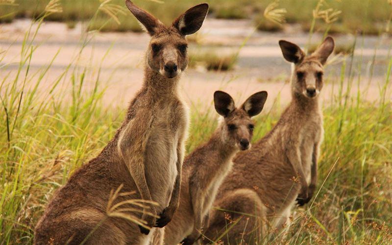 На видео сняли стадо бегущих кенгуру