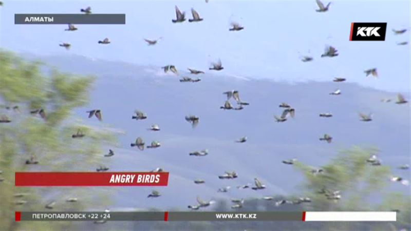 Птицы атакуют самолёты, вылетающие из Алматы