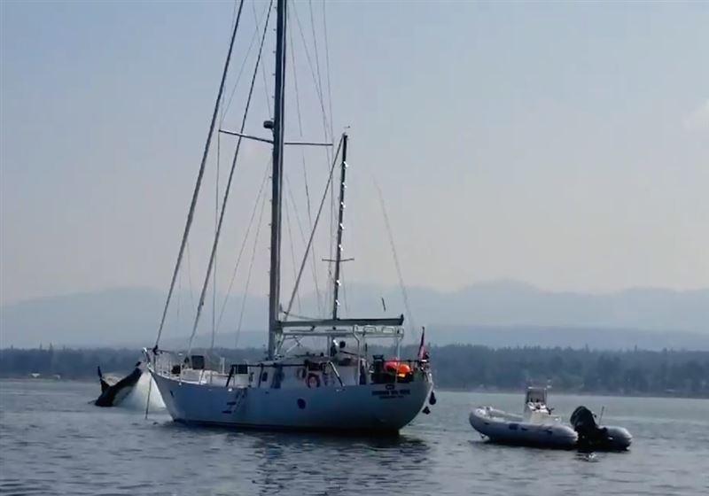 Кит-убийца схватил яхту заякорь истолкнул сдругим судном