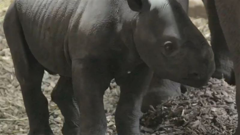 В британском зоопарке на свет появился редкий черный носорог