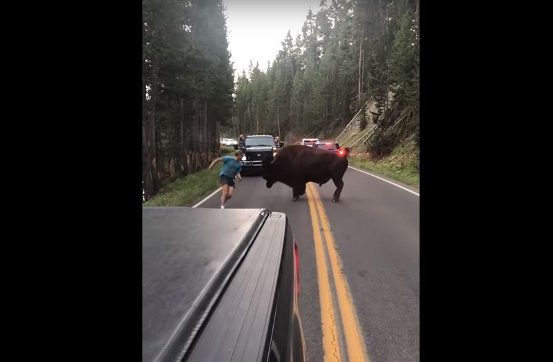 Мужчина устроил корриду с бизоном в национальном парке и поплатился