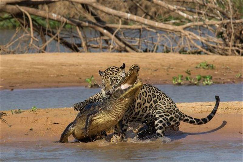 В Бразилии ягуар победил в схватке аллигатора