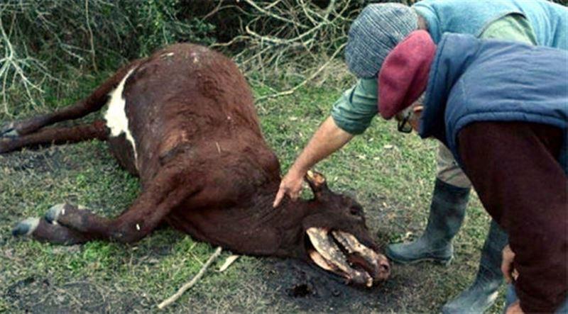 ФОТО (18+): Фермеры нашли мёртвых коров без языков и гениталий