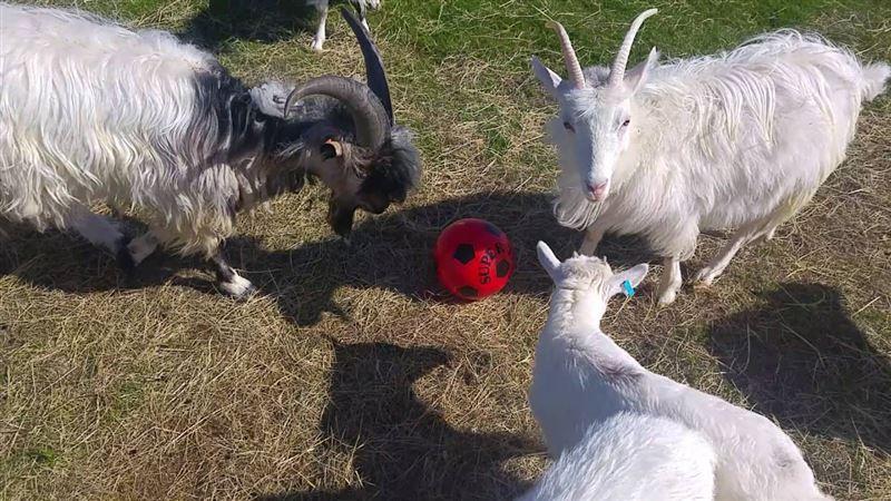 Футбольный клуб в Турции продал 18 игроков и купил 10 коз