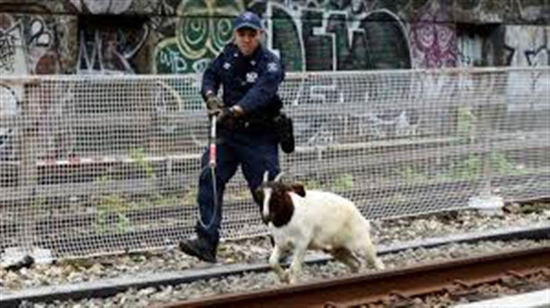Две козы остановили движение поездов метро в Бруклине