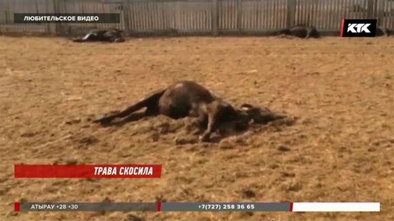 Ядовитая трава «убила» уже больше 250 коров в Актюбинской области