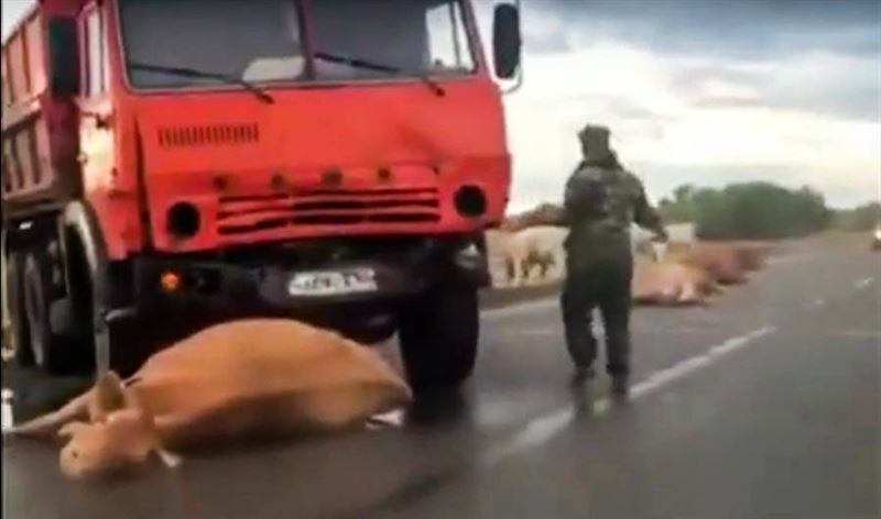 КамАЗ на полном ходу въехал в стадо коров на дороге в Павлодарской области
