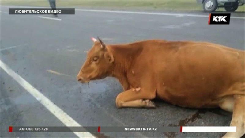 Целое стадо коров «убил» КамАЗ в Павлодарской области