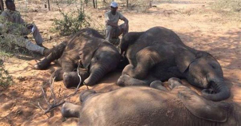 Браконьеры ради бивней убили почти 90 слонов