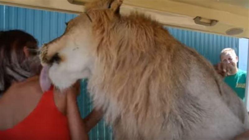 В Крыму лев залез в машину к туристам, чтобы облизать их