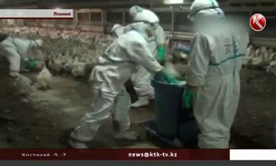 ВЯпонии убивают 230 тыс. кур после выявления вируса птичьего гриппа